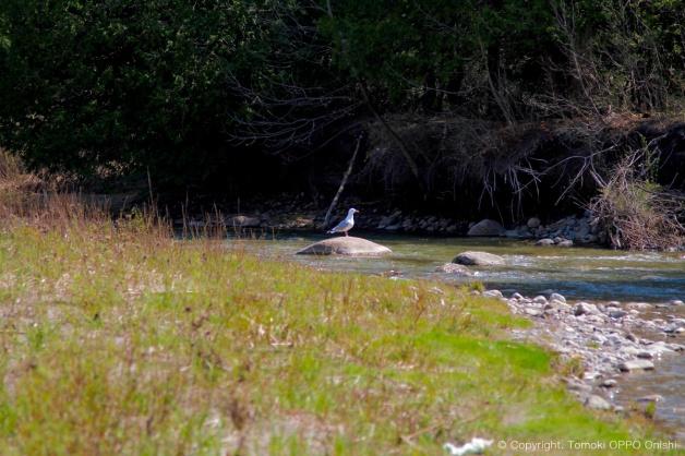 川にカモメがいる光景。。。